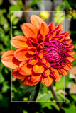 Dahlia Show 38 by corngrowth, photography->flowers gallery