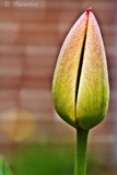 Lone Tulip by Jalexa, photography->flowers gallery