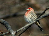 House Finch 2 by gerryp, Photography->Birds gallery