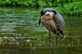 The Headless Heron by SatCom, Photography->Birds gallery