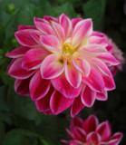 Dahlia by ccmerino, Photography->Flowers gallery
