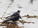 Breakfast Bluejays by theradman, Photography->Birds gallery