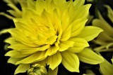 Yellow Dahlia by rozem061, photography->flowers gallery