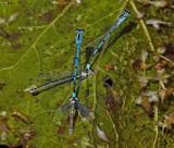 Damselfly by biffobear, photography->insects/spiders gallery