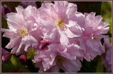 Spring Details 01 (Japanese Cherry Blossom) by corngrowth, photography->flowers gallery