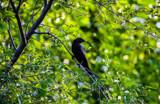 Cowbird by Pistos, photography->birds gallery