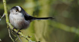 Long Tailed Tit.... by biffobear, photography->birds gallery