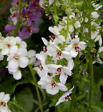 Verbascum by trixxie17, photography->flowers gallery