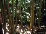Cant see the forest for the trees...(aussie rainforest serie by J_272004, photography->landscape gallery