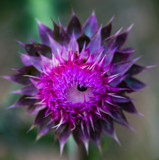 Half-Opened Thistle by Pistos, photography->flowers gallery