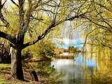 Willows By The Lake by flanno2610, photography->landscape gallery