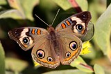 Buckeye Butterfly by egggray, Photography->Butterflies gallery