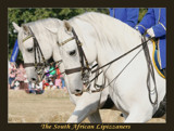 The South African Lipizzaners Nr 3 by mmynx34, Photography->Animals gallery
