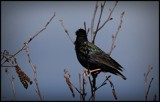 Black Bird by GIGIBL, photography->birds gallery