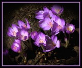 Autumn Crocus by LynEve, photography->flowers gallery