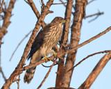Coopers Hawk by garrettparkinson, photography->birds gallery