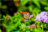 The Monarch Butterfly_second posting by tigger3, photography->butterflies gallery