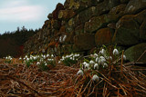 Snowdrops by a Dhrystone wall by biffobear, Photography->Flowers gallery