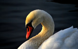 December Swan by braces, Photography->Birds gallery