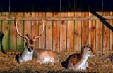 Fallow Deer by biffobear, photography->animals gallery