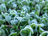 Morning frost on clovers by EmJay, photography->flowers gallery