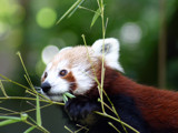 Red Panda by Sengir, Photography->Animals gallery
