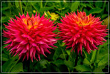 Dahlia Show 37 by corngrowth, photography->flowers gallery
