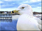 Gull Portrait (for PatAndre) by muggsy, Photography->Birds gallery
