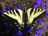 Bumblebee Butterfly by steen, Photography->Butterflies gallery