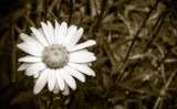 Sepia Daisy by Eubeen, contests->b/w challenge gallery