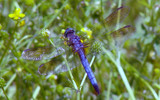 Great Blue Skimmer by 100k_xle, Photography->Insects/Spiders gallery