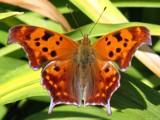 Firestorm Flier by Hottrockin, Photography->Butterflies gallery