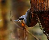 Horizontal Nuthatch by biffobear, photography->birds gallery