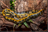 Keeping An Eye On You by corngrowth, photography->reptiles/amphibians gallery
