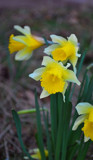 Easter Daffs by braces, Photography->Flowers gallery
