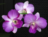 Small Purple Orchids by jeenie11, photography->flowers gallery