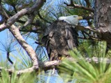 HARK!  Bald Eagle hears possible food... by madmaven, photography->birds gallery