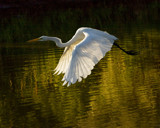 Great Egret Launch by alan1250, Photography->Birds gallery