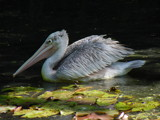 Pelican by stephenway, Photography->Birds gallery