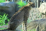 Cheetah hunt by GomekFlorida, photography->animals gallery