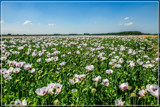 Flat Land Poppies by corngrowth, photography->flowers gallery