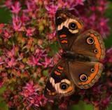 The Buckeye_A Defries Garden Capture by tigger3, photography->butterflies gallery