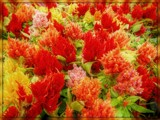 Celosia Forest by trixxie17, photography->flowers gallery