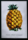 Pineapple by P_McK, illustrations->digital gallery
