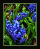 Blue Hyacinth by LynEve, photography->flowers gallery