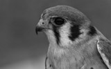 American Kestrel in Black and White by tweir, photography->birds gallery