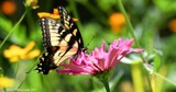 Ruby's Garden of Plenty by tigger3, photography->butterflies gallery