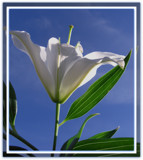 White Lily by ccmerino, Photography->Flowers gallery