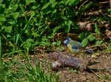 Bluey the Bruiser by biffobear, photography->birds gallery