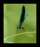 Ebony Emerald by gerryp, photography->insects/spiders gallery